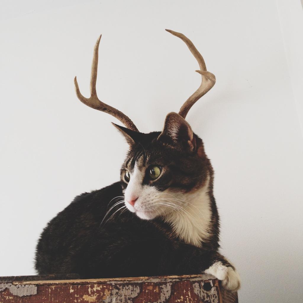 0_cat_antlers