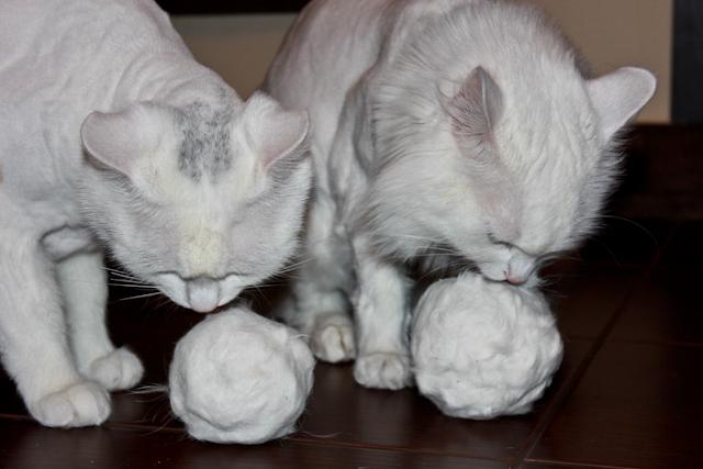 фото бритые кошки