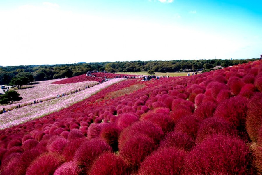 20131115_10.jpgПарк Хитачи-Сисайд, Хитатинака, префектура Ибараки, Япония