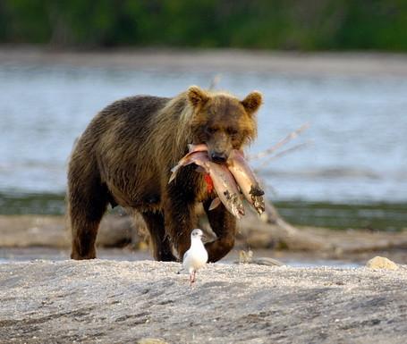 красная рыба и медведь.