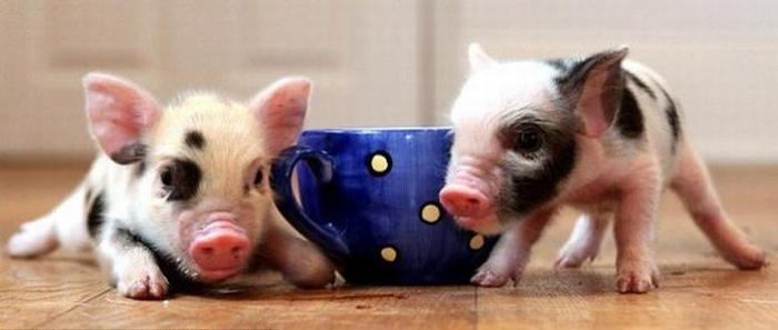 микро свин