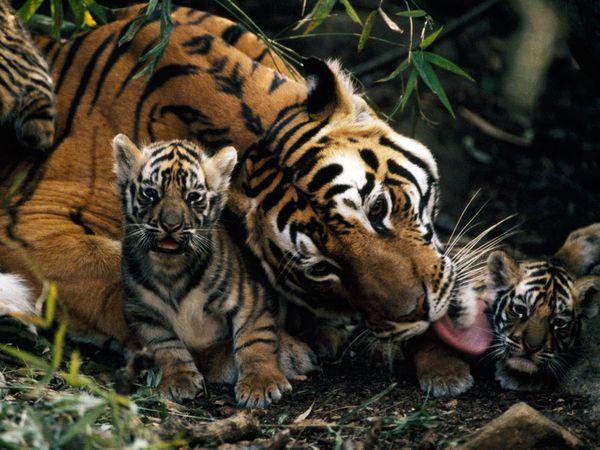 малыши больших кошек