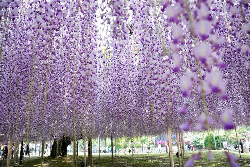 Цветочный парк Асикага в Японии