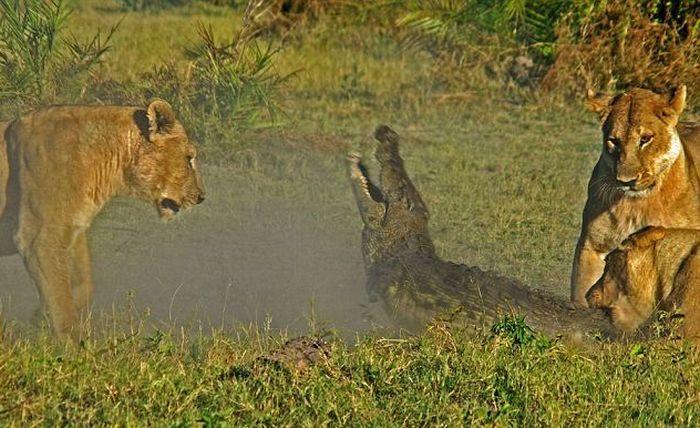 крокодилы львы борьба битва драка животные природа