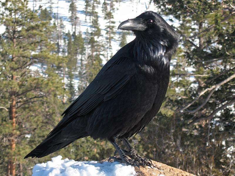 Картинки ворон зимой