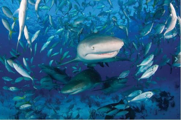 акулы океан Джим Абернет пастух акул