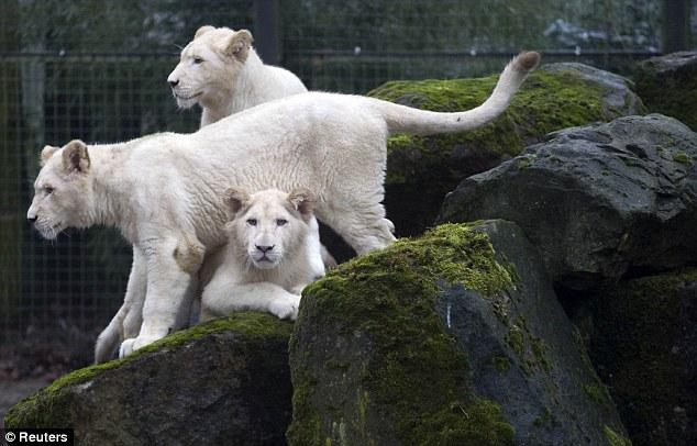 белые львы