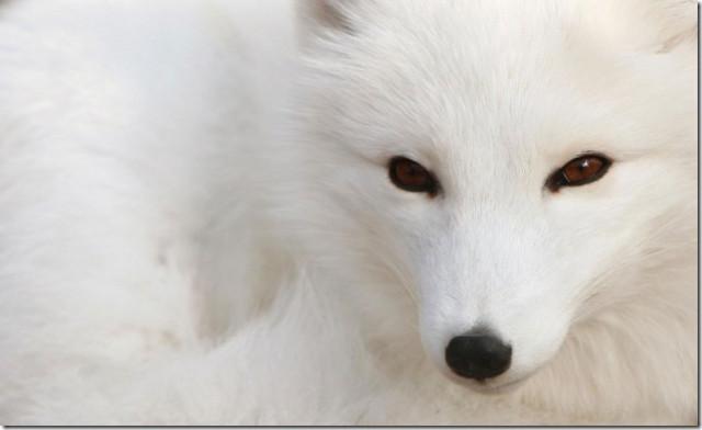 10 mais belo animal branco