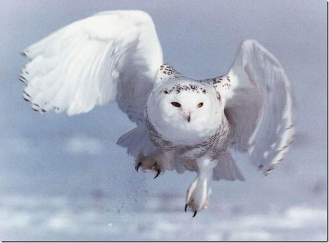 Белая сова - самая крупная птица из отряда совообразных в тундре.  Голова круглая, глаза ярко-желтые.