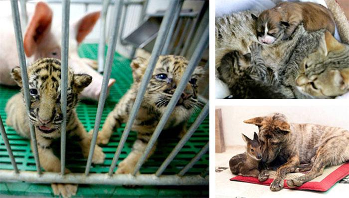 Посмотрите несколько фото-историй на тему усыновления чужих детенышей звериными мамами.