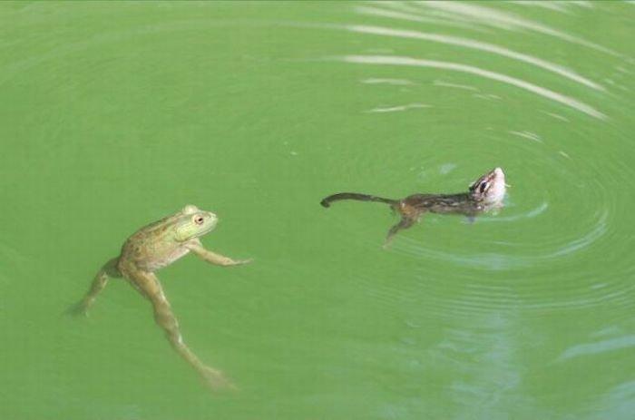лягушка против бурундука