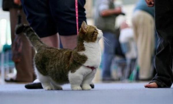 Манчкины - короткопалые кошки