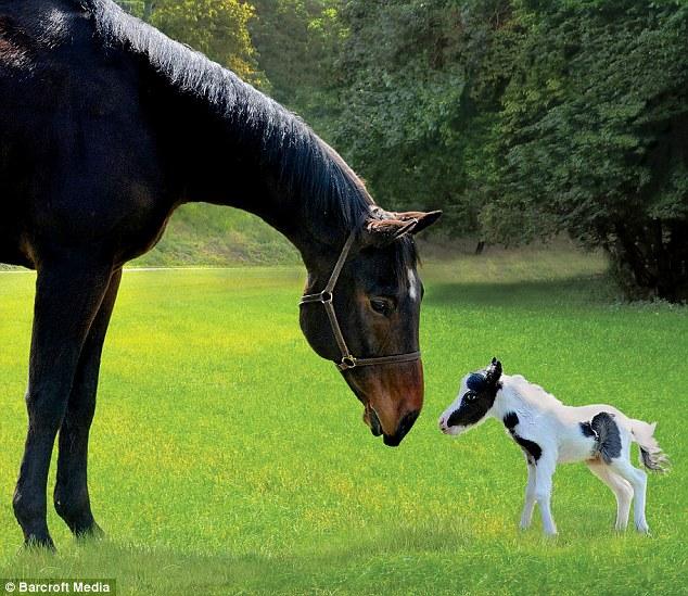 Самая маленькая лошадь в мире ...