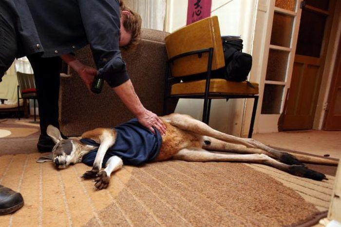 домашний кенгуру