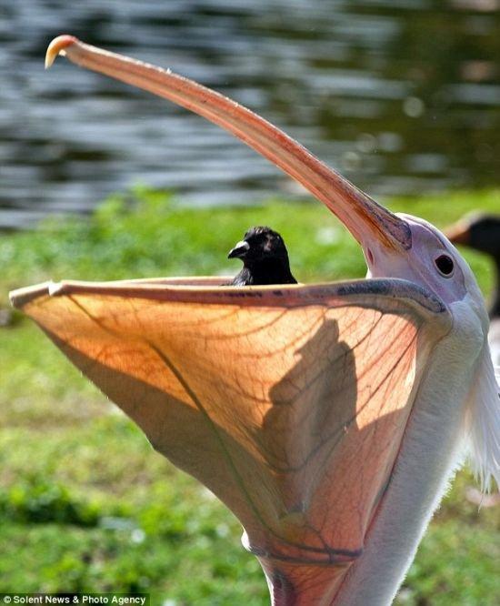 голубь в пасти пеликана
