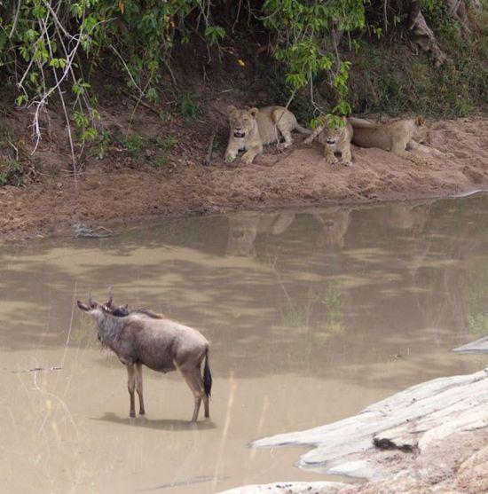 львица и антилопа