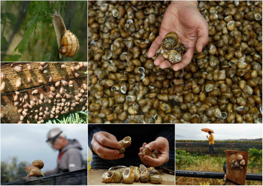 Как выращивают улиток