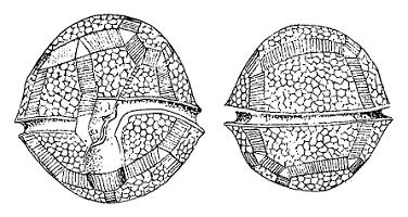 Figs-27-29-Drawings-of-the-plate-pattern-of-Peridinium-umbonatum-sensu-lato-of-Lake-Nero