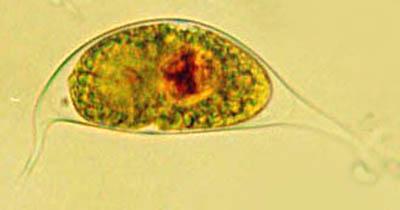 Cystodinium steinii