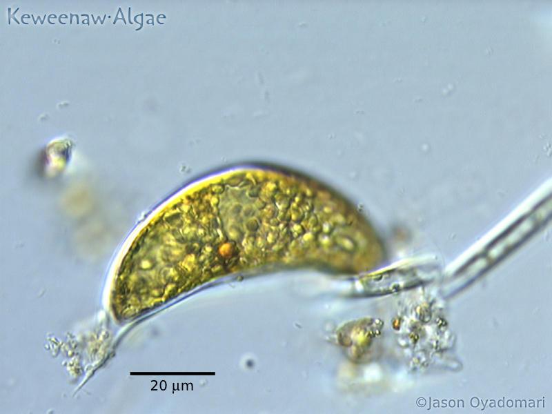 Cystodinium cornifax3