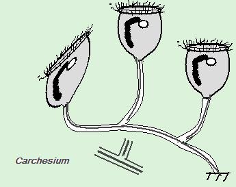 carchesium1