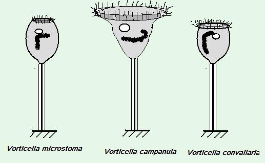 volticella3