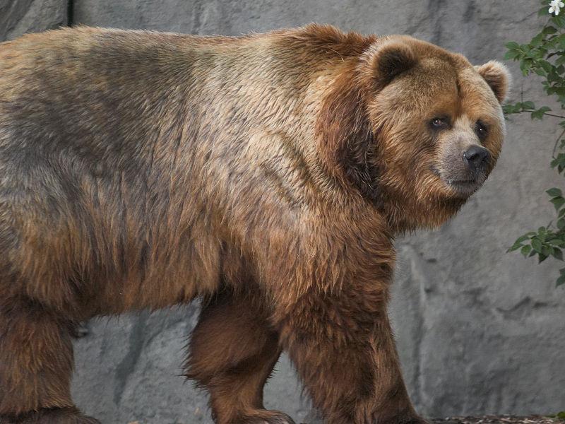 800px-Kodiak_bear_in_germany