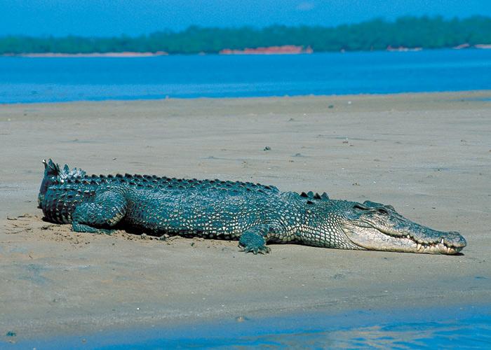 Saltwater_crocodile_on_a_beach_in_Darwin,_NT