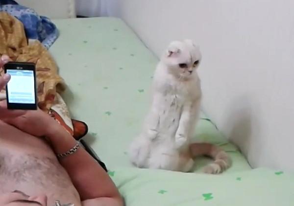 Кошка патриотка слушает стоя на задних лапах гимн России