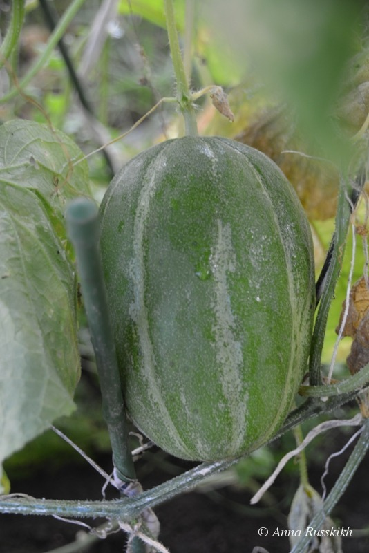 Урожай (2)