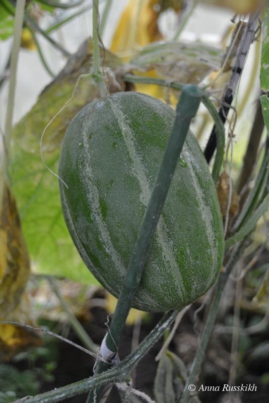 Урожай (1)