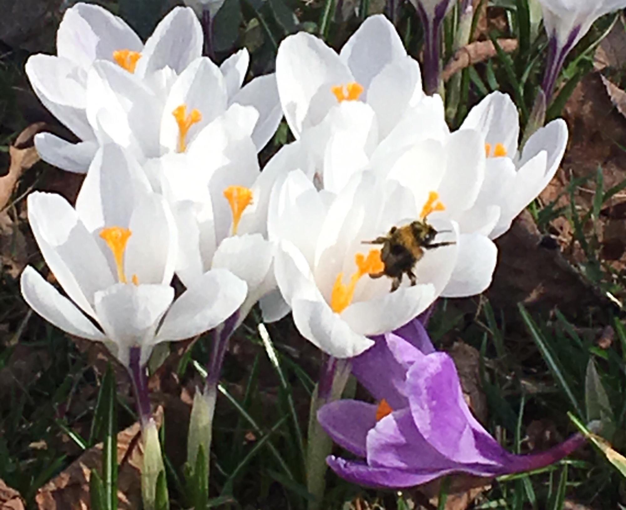 В выходные в Сокольках, в Сиреневом саду  было прозрачно, ни  травинки. Только крокусы! И  коленопреклоненные люди с телефонами :)  Весна - главная новость каждого дня.