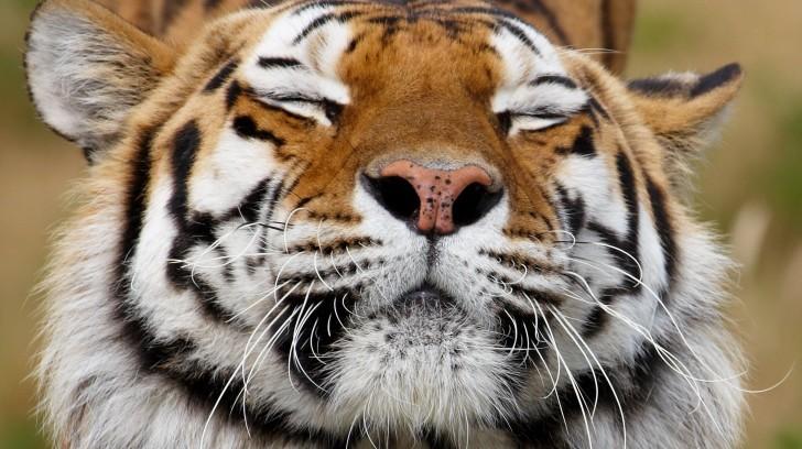 sleepy-tiger-57090194