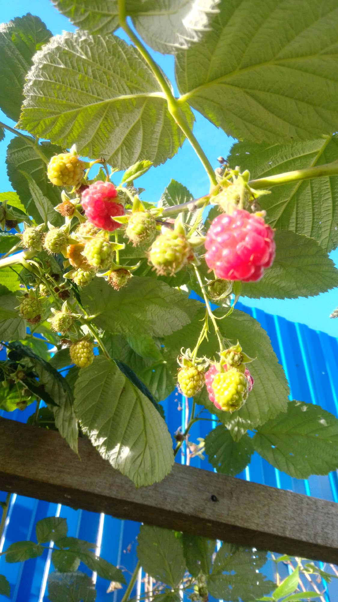 Садовая малина. Второй урожай. Октябрь 2020