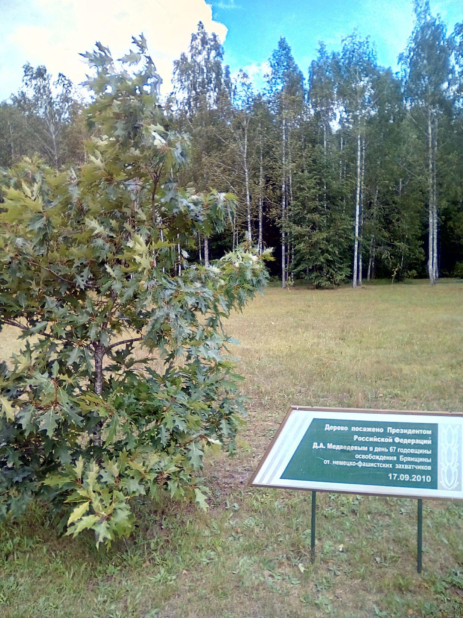 Дерево, посаженное президентом Д. А. Медведевым