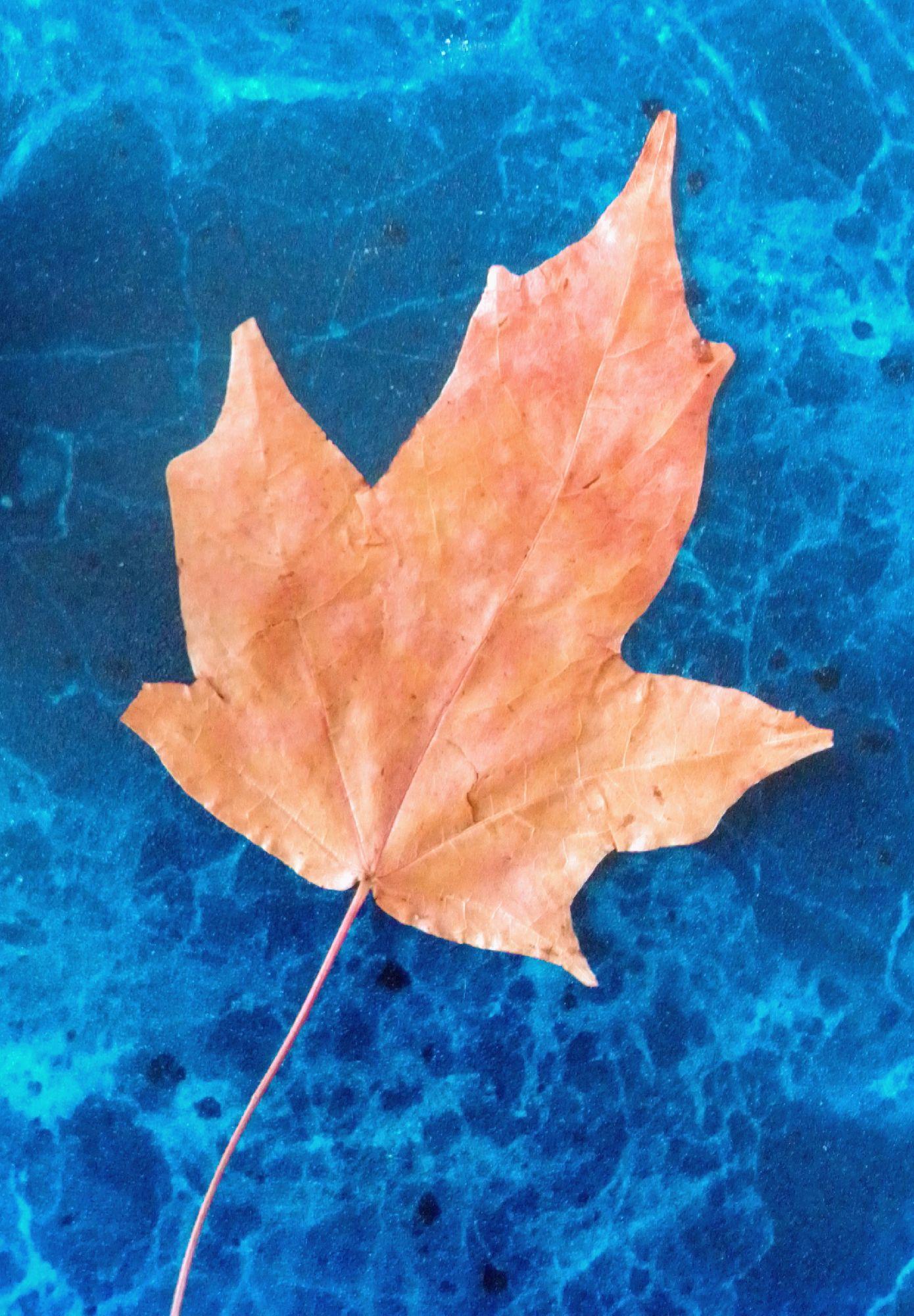 Тот самый засушенный кленовый лист