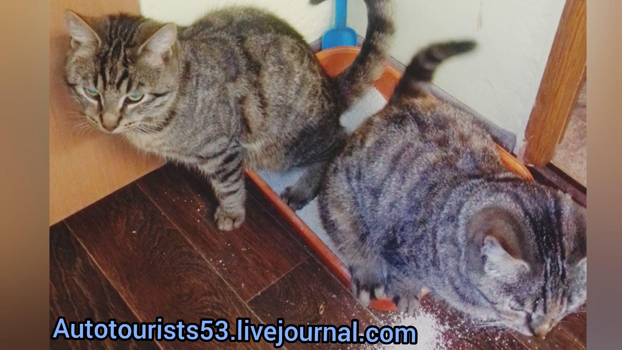 #пятничныекотики Тигра и Плюша