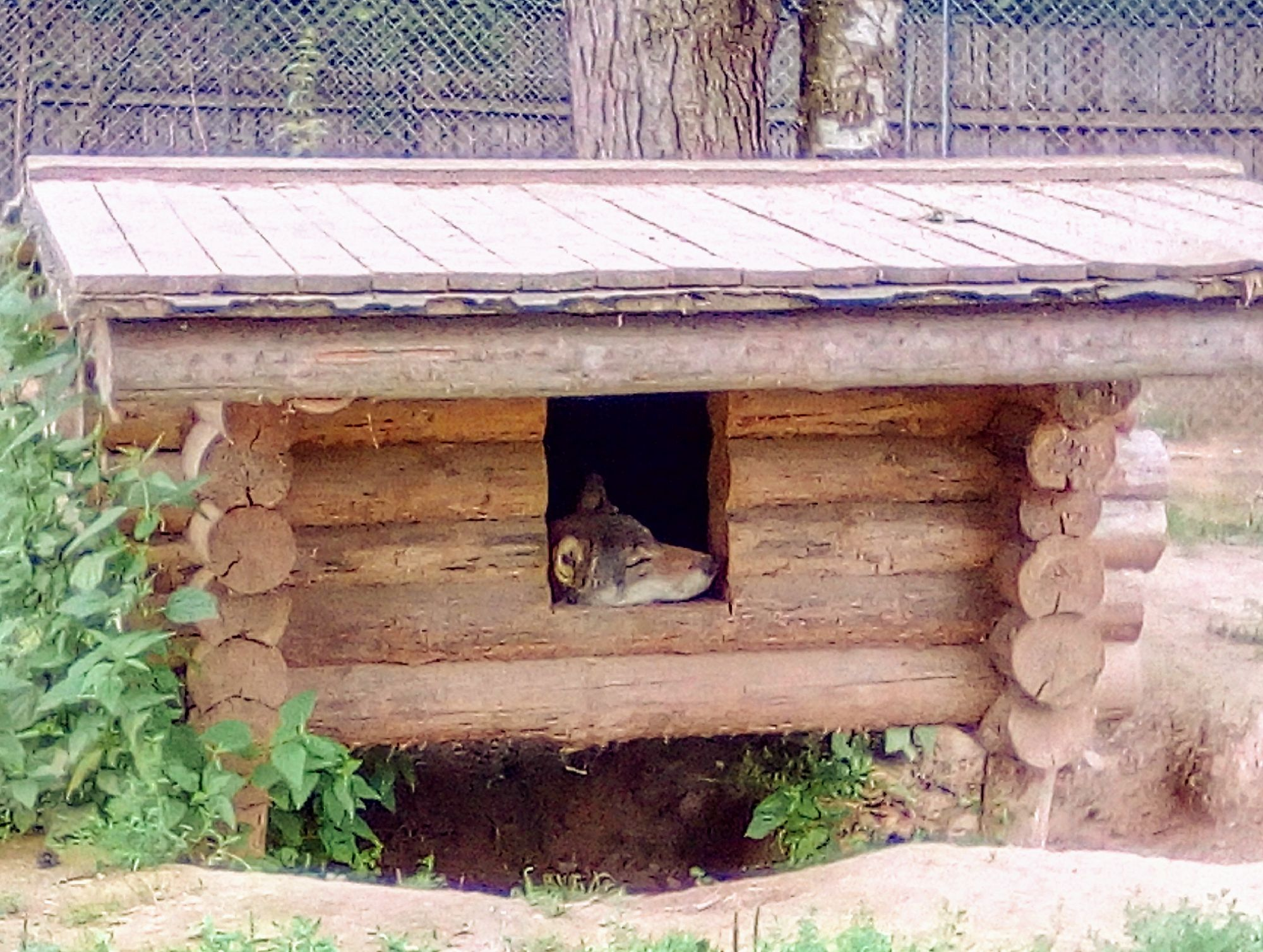 Волк отдыхает)