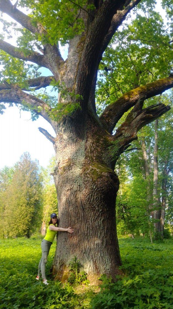 Один из дубов