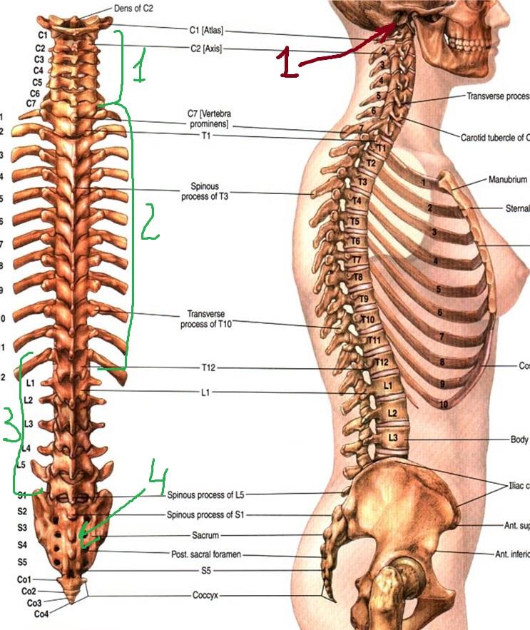 Схема тела с центральной его