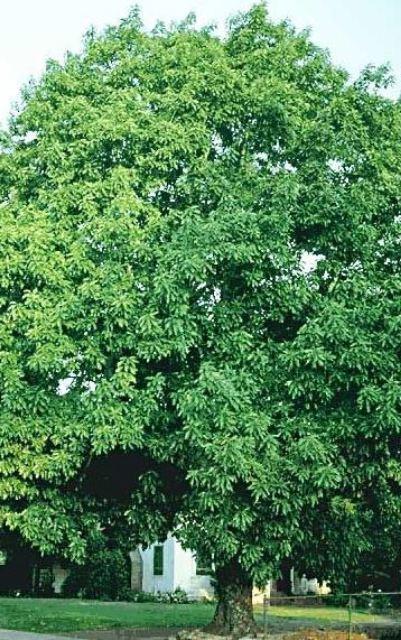 дерево-авокадо-фото