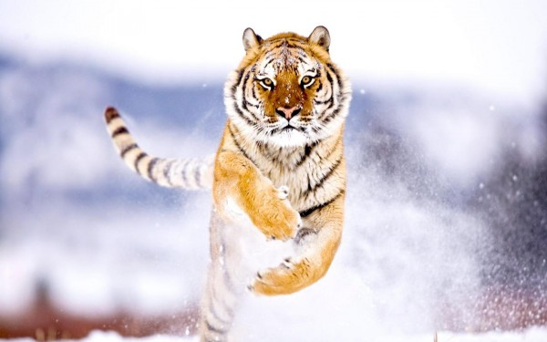tigr_v_pryzhke_bolshie_na_rabochiy_stol_1920x1200
