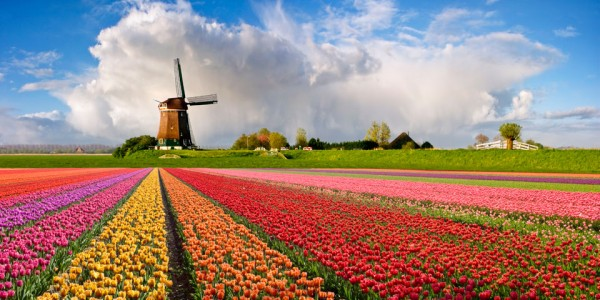 windmill-and-tulips-holland