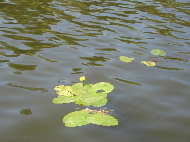 Символ этого лета - кувшинка, цветущая невовремя. Обычно они все в июне цветут. Все не в свой срок, невпопад, не так, неправильно, в разлом.
