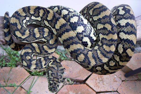 Carpet-python-007