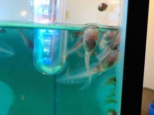 tree_frog_tadpoles