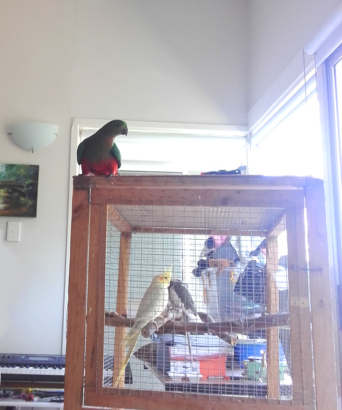 king_parrot_in_my_house