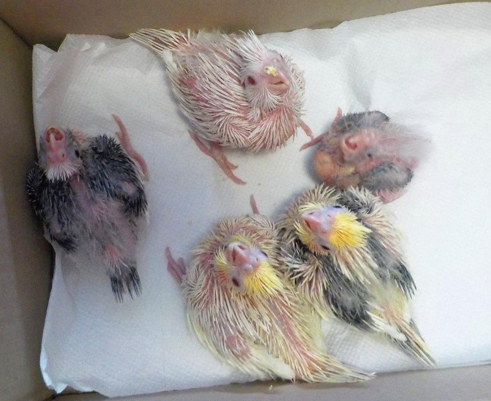 Cockatiel babies 2