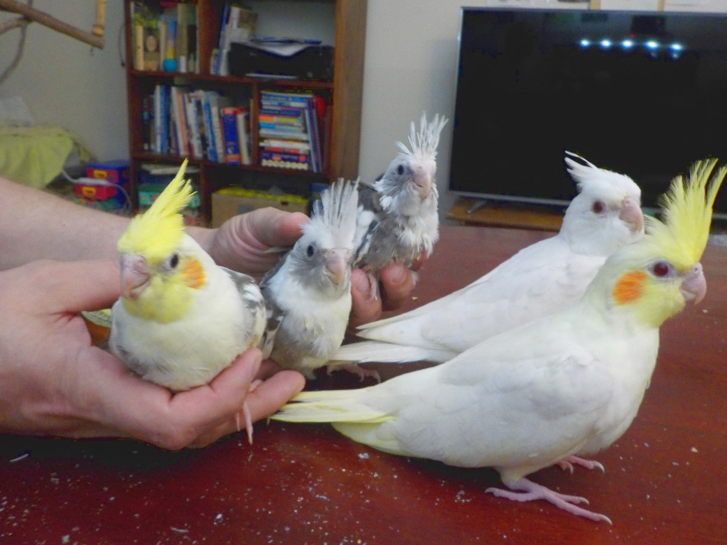 Cockatiel babies 3
