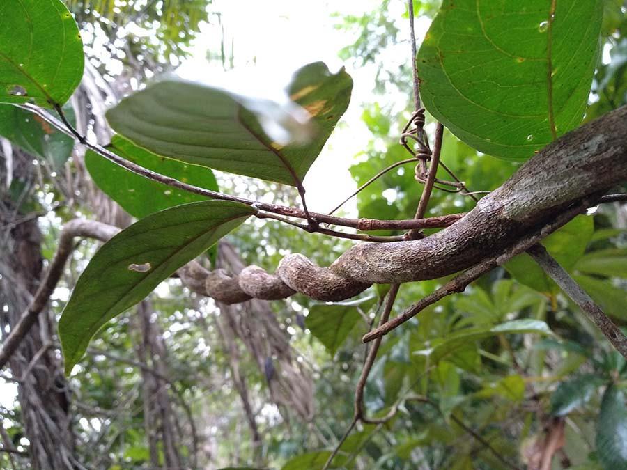 лиана аяуаска Banisteriopsis caapi